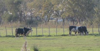 Bulls grazing