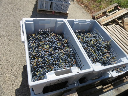 Cabernet Sauvignon grapes, freshly picked
