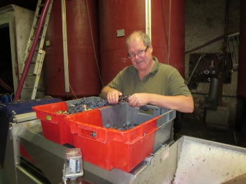 At work at the sorting table checking Mourvedre grapes which have a beautiful blood coloured juice