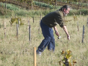 Michel has checked that this vine is healthy and will add a wooden stake