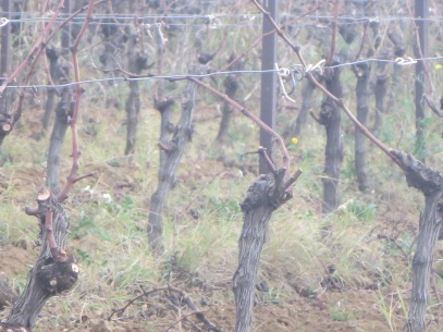 Guyot pruning