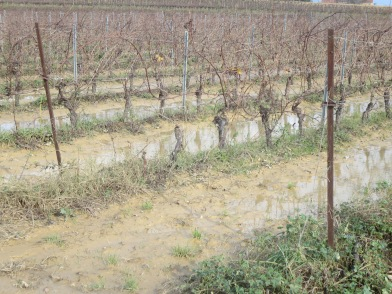 Water standing in the vines