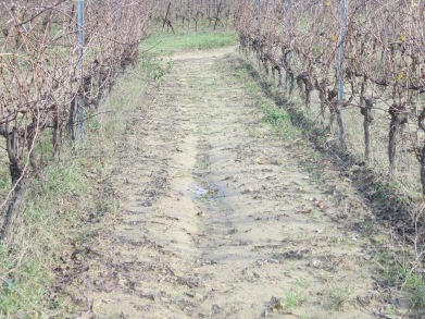 Ruts developing between vines