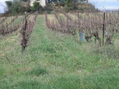 Covered vineyard with no sign of erosion