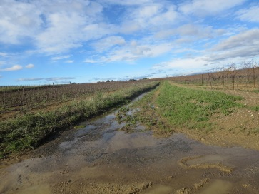 Water flowing off vineyards which have had the grass removed