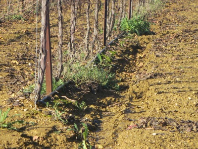 Irrigation pipes run along the vines. Look closely at the channel which has been cut into the soil by the rain.