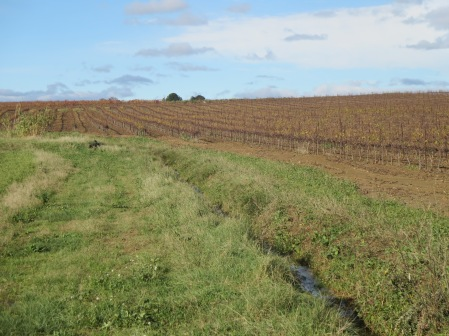 A stark contrast between the Mas Coutelou vineyard and that of his neighbour
