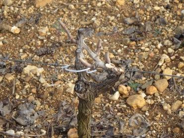 Syrah vine pruned in the gobelet style