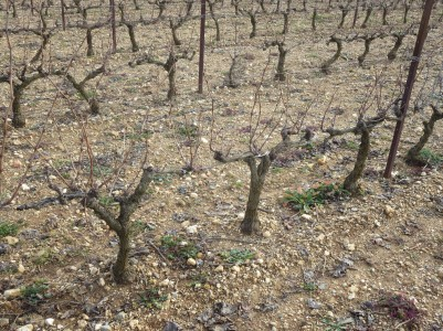 Grenache vines,cordon pruning