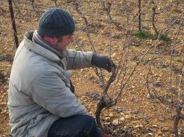 Jeff studying a Syrah vine