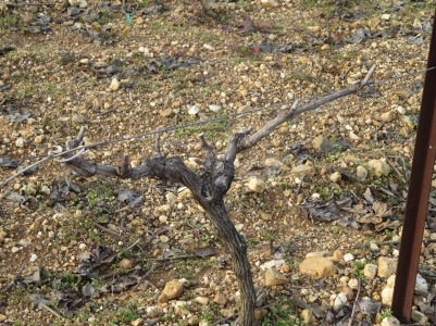 Syrah vine pruned in cordon rather than the gobelet style which most of the Syrah vines are. It was felt its needs suited cordon better