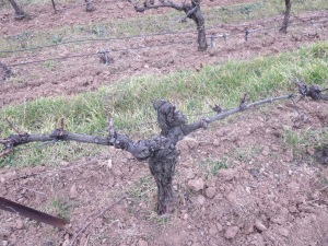Sauvignon Blanc vines grafted short to reduce the yield and concentrate flavour