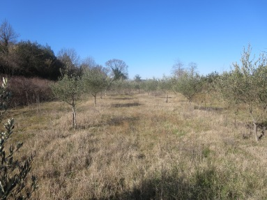 Prairie olive plantation
