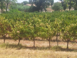 Vines near Pézenas showing some stress