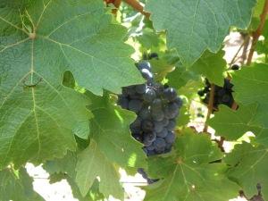 Cab Sauv grapes