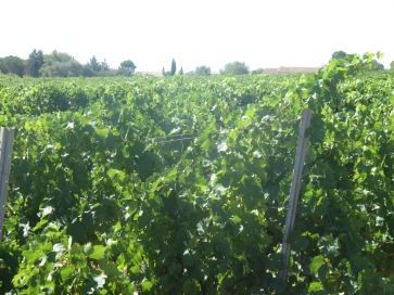 Segrairals in full bloom, healthy, happy vines