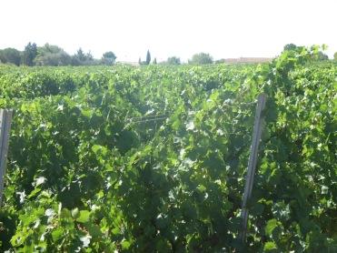 Segrairals in full bloom, healthy, happy vines