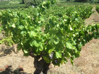 Rome's centurion vines in good health