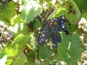 The famous Castets grapes of Peilhan