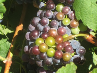 Grenache in La Garrigue