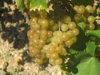 Muscat a Petits Grains in La Garrigue