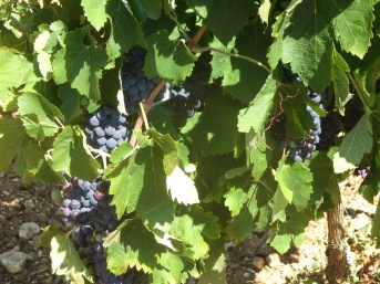 Syrah in La Garrigue, ripening beautifully in the shade of the vine