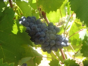 Mourvedre grapes