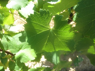 Mourvedre3