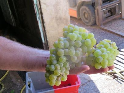 Car Blanc grapes
