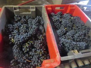 Syrah from Segrairals