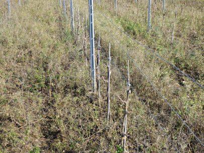 Peilhan vines pruned