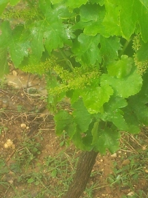 Grenache vines with flowers intact after the storm