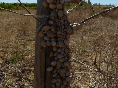 Famille d'escargots, Segrairals