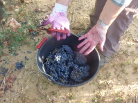 Sticky hands, lovely Mourvedre