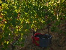 syrah-first-day-dawn-sun-on-vines