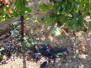 Grapes left behind