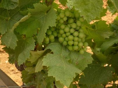 Grapes June