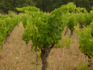 Ancient Cinsault in Rome