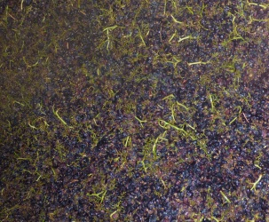 Cinsault after pressing