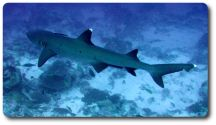 whitetip-reef-shark-facts